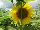 Семена подсолнечника под Гранстар Антей премиум - фото 6