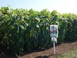 Семена подсолнечника под гранстар НС Х 2652