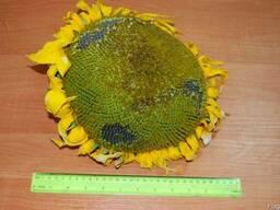 Семена подсолнечника (подсолнуха) Антей под Гранстар