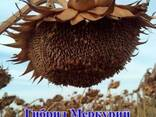 Семена подсолнечника (подсолнуха). Меркурий - фото 1