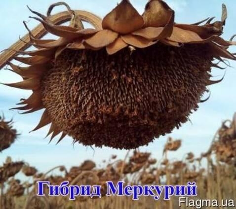 Семена подсолнечника (подсолнуха). Меркурий