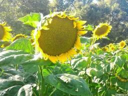 Насіння соняшника RIMI, толерантного до Євро-Лайтнингу