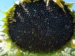 Семена подсолнечника СИ Барбати