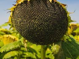 Семена подсолнечника СИ Эксперто