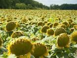 Семена подсолнечника Сингента Сумико HTS под гранстар USA - фото 2