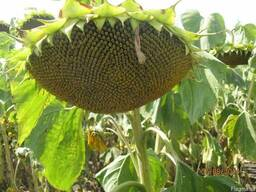 Семена подсолнечника СУР (супер ультраранний)