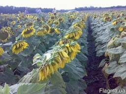 Семена подсолнечника Украинский F1 850грн
