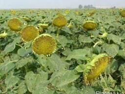 Семена подсолнечника Українське сонечко, Заграва