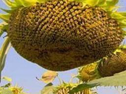 Семена подсолнечника Українське сонечко (ВНІС)