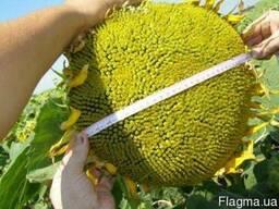 Семена подсолнечника устойчивые к гранстар
