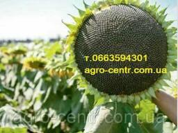 Семена подсолнуха ЛГ 5582