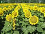 Семена подсолнуха Рембо под Экспресс, Гранстар Про - фото 2