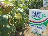 Семена подсолнуха НС Х 1752 Экстра (3,0-3,6мм) - фото 3