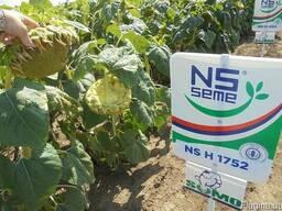 Семена подсолнуха НС Х 1752 Стандарт (2,6-3,0мм) - фото 3