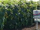 Семена подсолнуха НС Х 1752 Экстра (3,0-3,6мм) - фото 4