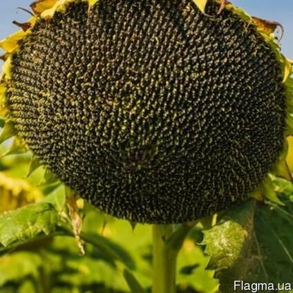 Семена подсолнуха НС Х 2652 Экстра (3,0-3,6мм)