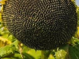 Семена подсолнуха НС Х 2652 Стандарт (2,6-3,0мм)