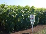 Семена подсолнуха НС Х 2652 Экстра (3,0-3,6мм) - фото 5