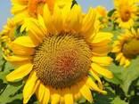 Семена подсолнуха НС Таурус Экстра (3,0-3,6мм) - фото 1