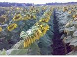 Семена подсолнуха под гранстар Гастон и Матис (франция) - фото 1