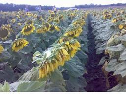 Семена подсолнуха под гранстар Гастон и Матис (франция)