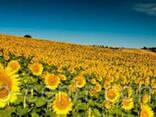 Семена подсолнуха Рембо под Экспресс, Гранстар Про - фото 1
