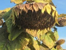 Семена подсолнуха сорт Добрыня (кондитерский)