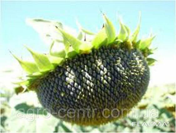 Семена подсолнуха Солтан (под Гранстар)