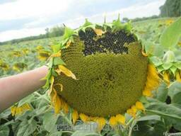 Семена подсолнуха в Киеве Айтана (Стандарт,экстра)