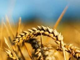 Семена пшеницы Грация