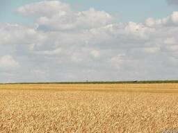 Семена пшеницы Гром