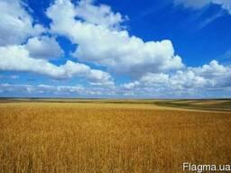 Семена пшеницы Москвич