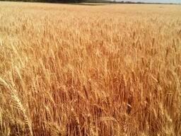 Семена пшеницы озимой Пилипівка (новая Одесская 267)