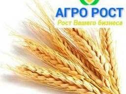 Семена пшеницы озимой, пшеница мягкая твердая элита, 1 реп