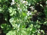 Семена редьки масличной - фото 1