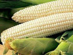 Семена сахарной кукурузы весовые и пакетированные