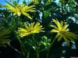 Семена Сильфии пронзеннолистной - поздний медонос