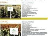 Семена сорго зернового Адванта Сидз (белое, красное) - фото 2