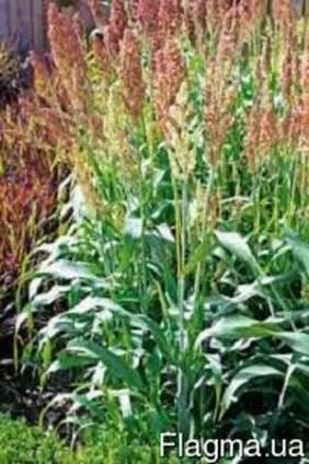 Семена сорго зернового от 100 кг.