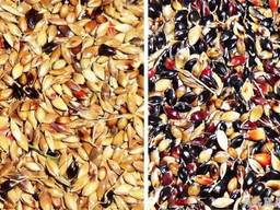 Семена суданки - фото 2
