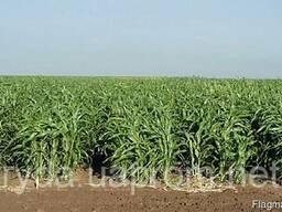 Семена травы Суданка