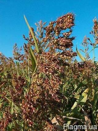 Семена суданки оптом. Продажа от 100 кг.