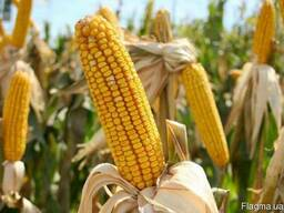 Семена трансгенной кукурузы новый гибрид насіння кукурудзи