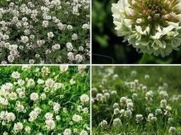 Семена травы Клевер белый