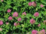 Семена травы Клевер Красный - фото 1