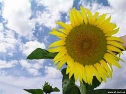 Семена высокоэффективного гибрида подсолнечника Жалон