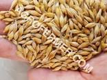 Семена ячменя MARSHALL канадский трансгенный сорт (элита) - фото 1