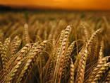 Семена ярового ячменя Гарант Премиум (элита) - фото 1