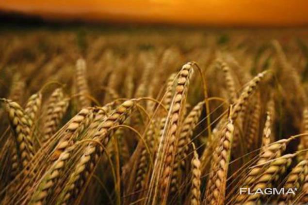 Семена ярового ячменя Гарант Премиум (элита)