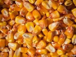 Кукуруза семенная